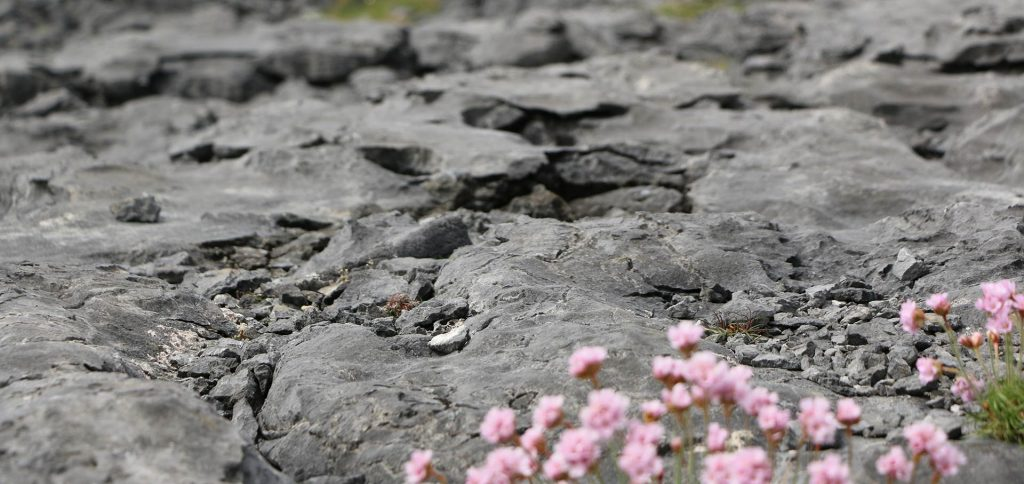 Blume im Burren